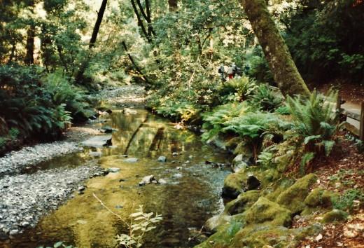 The Redwood Creek in Muir Woods