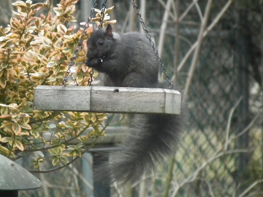 Black Squirrel in the Feeding Tray