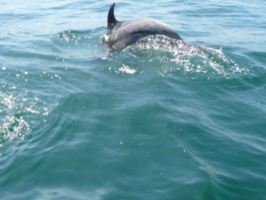 It was worth getting up early for this! Dolphins came close to the boat, and swam nearby for several minutes.