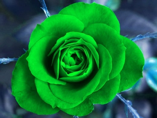 Green rose blue rose yellow rose roses in different for Green colour rose images