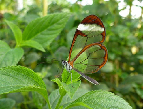 Great oto - Glasswing