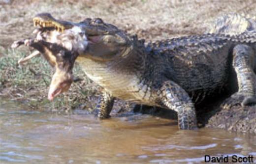 American Alligator feeding.