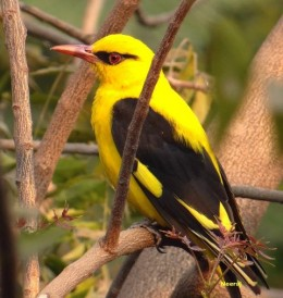 Golden Oriole Bird.