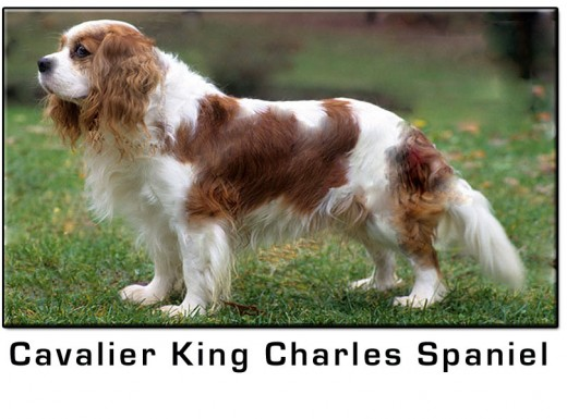 Cavalier King Charles Spaniel Small Dog Breed