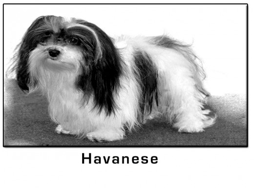 Havanese Small Dog Breed