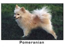 Pomeranian Small Dog Breed