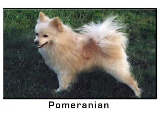 Pomeranian Small Dog Breed