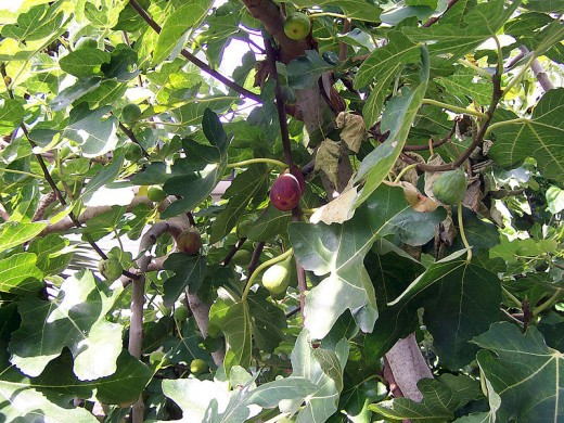 fig trees for sale what type of fig tree should you get