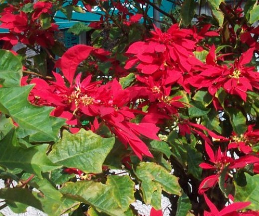 Poinsettias in bloom