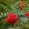Sorbus Aucuparia (also known as the Rowan Tree or the European Mountain Ash) - Why Every Garden should Grow One