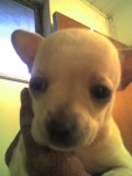 Funny Chihuahua Puppy Stories