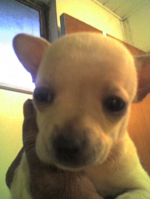 Chihuahua puppies remind of little miniature dinosaurs- they are so muscular but tiny!