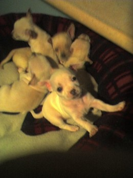 The chihuahua puppies came from a litter of 5