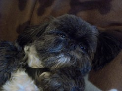 Amore Sofia - A tale of my little Shih Tzu