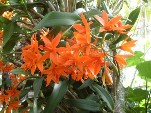 xCattlanthe or Trick or Treat Orchids