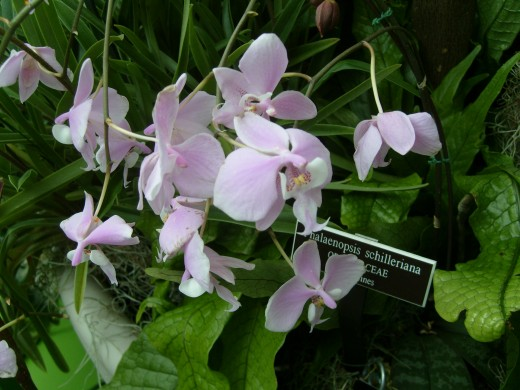 Orchids from the Philippines