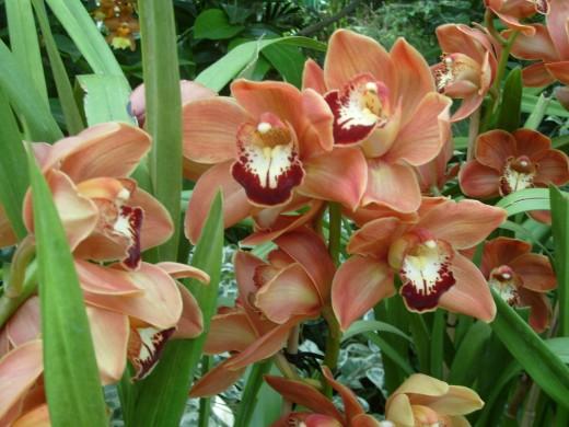 An Asian Corsage Orchid, Carpinteria Sunrise