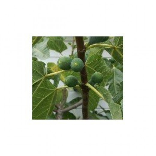 White Kadota Figs