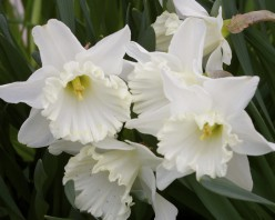 Daffodils In Your Garden, Simple, Pure Beauties