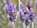 pic of lavender