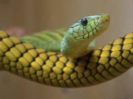 The deadly mamba snake figures prominently at one point in the novel.