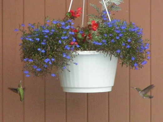 Two hummingbirds at planter