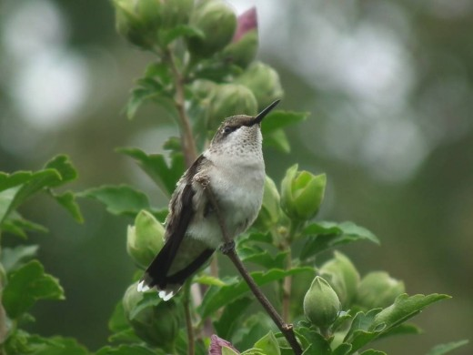 Immature Hummingbird on Rose of Sharon