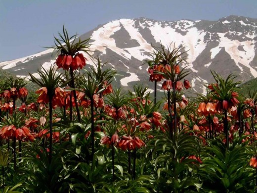Fritillaria imperialis growing native in Kurdistan, a region on the boarders of Turkey, Iran and Iraq.