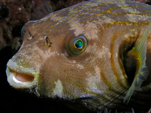 Stars and Stripes Toadfish found in northern Australian waters