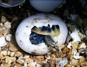 Reptile egg (tortoise)