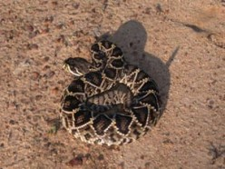 American Venom - Poisonous Snakes Of The United States