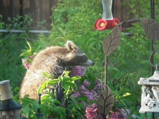Raccoon visiting the Hummingbird Feeder!