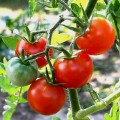 Growing Fantastic, Delicious, Prolific Tomatoes