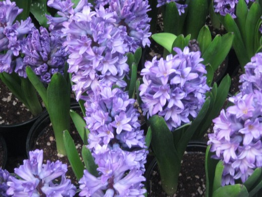 Beautiful Hyacinths at the Bellagio Conservatory!