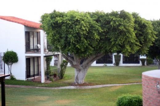 Ficus Tree at Pilar