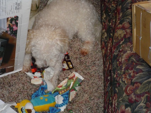 Bandit opening his Christmas present
