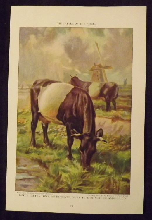 Dutch Belted Cows Edward Herbert Miner Painting