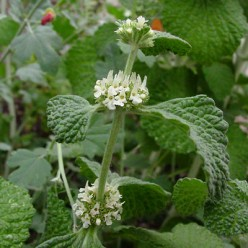 Horehound the Herb: Uses and Benefits Plus Cough Medicine Recipe!