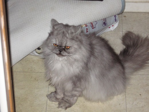 Pebbles our Persian Cat