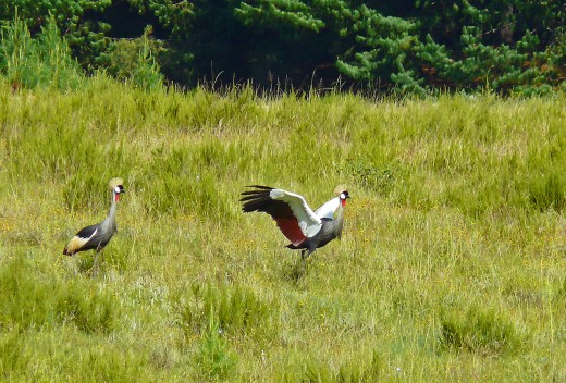 Grey Crowned Crane, mating dance