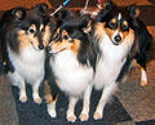 Black Tricolor Shelties