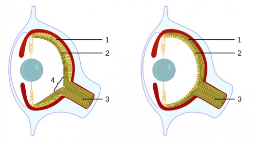 Structure of the camera eye in vertebrates (left) and cephalopods (right).
