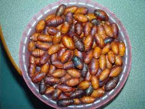 Larva and maggots are the best protein you can catch and eat, so tasty!
