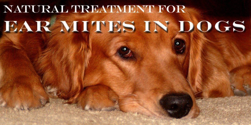 Natural Ear Mite Treatment In Dogs