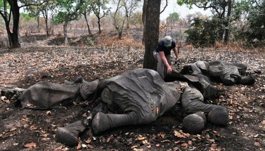 Another dead elephant from Cameroon's Bouba N'Djida National Park