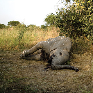 dead elephant in Chad