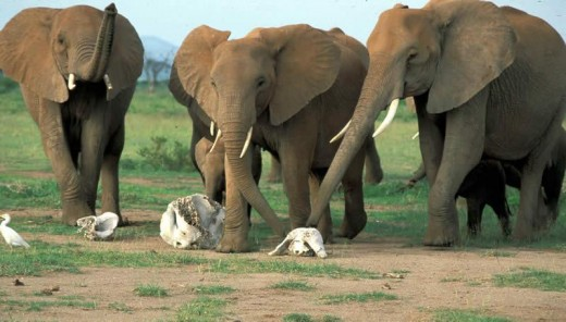 African elephants paying homage to dead relatives