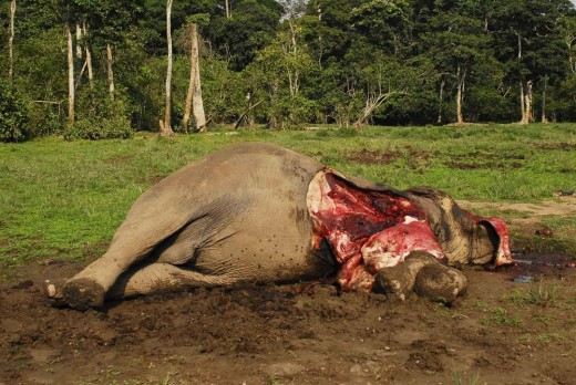 an African elephant left to die after having its face cut off for its tusks