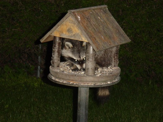 Raccoon in my Birdhouse Feeder