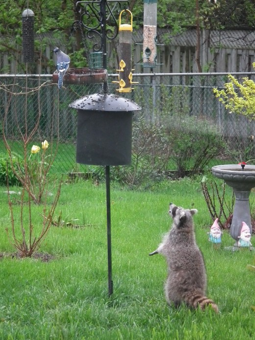 Raccoon Harassing a Blue Jay in Broad Daylight!